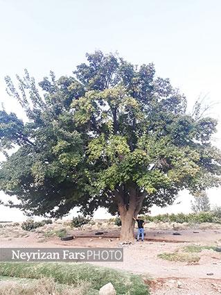 قطع درختان کهنسال توت در حاجیآباد نی ریز